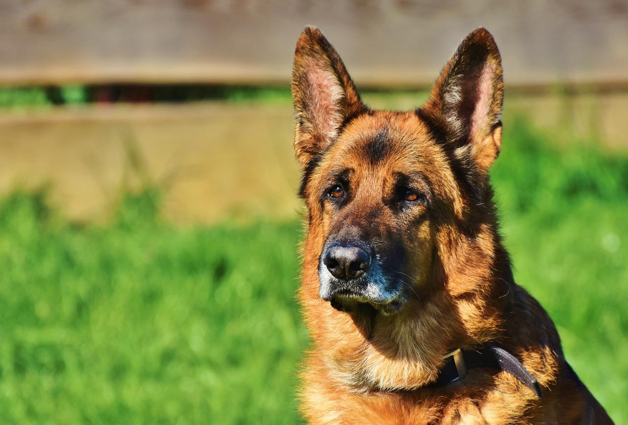Dog Handling Service 1